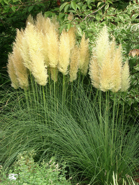side_body_Pampas_Grass