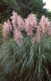 side_body_Purple_Pampas_Grass