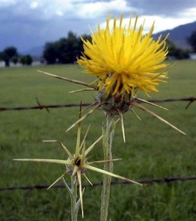 side_body_Yellow_Star-Thistle