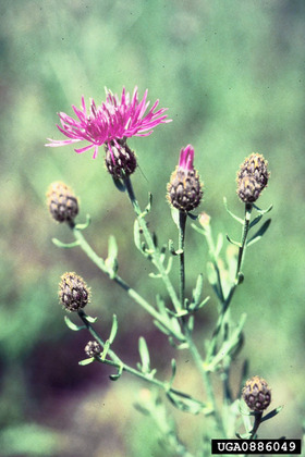 side_body_Spotted_Knapweed