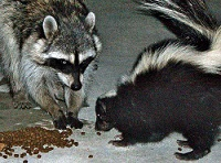 raccoon_skunk_200x150