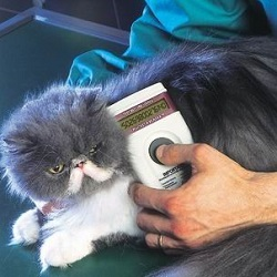 Vet holding micro chip scanner over a grey cat