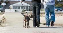 a couple walking a puppy