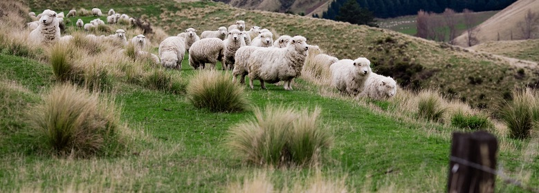 sheep_crossing_780x280