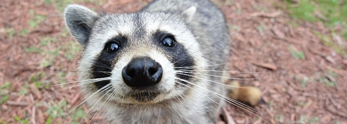 Close up photo of a raccoon