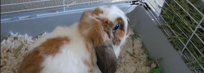 Cute tan and white lop eared rabbit