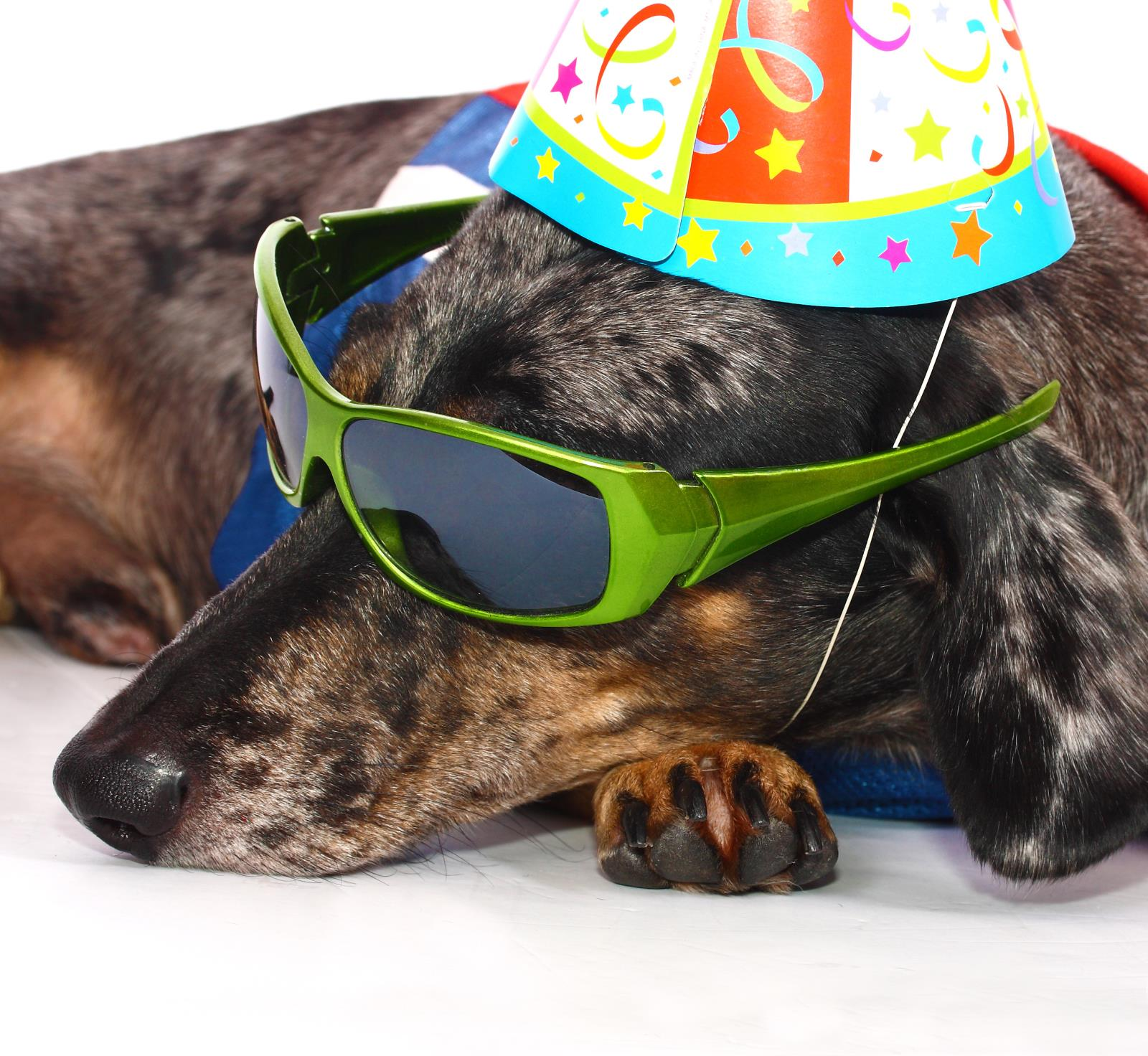 dog resting with sunglasses
